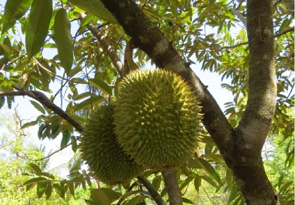 Tropical Fruit Tasting